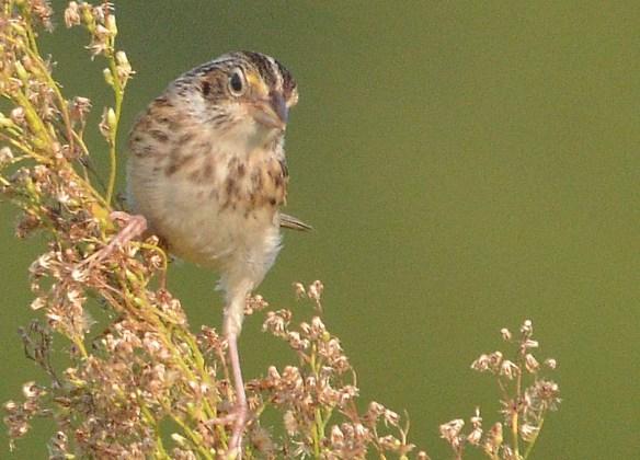 Grasshopper Sparrow 2017-9