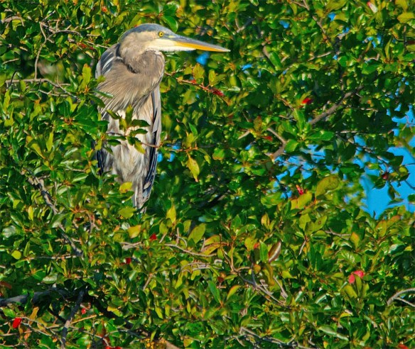 Great Blue Heron 2017-78