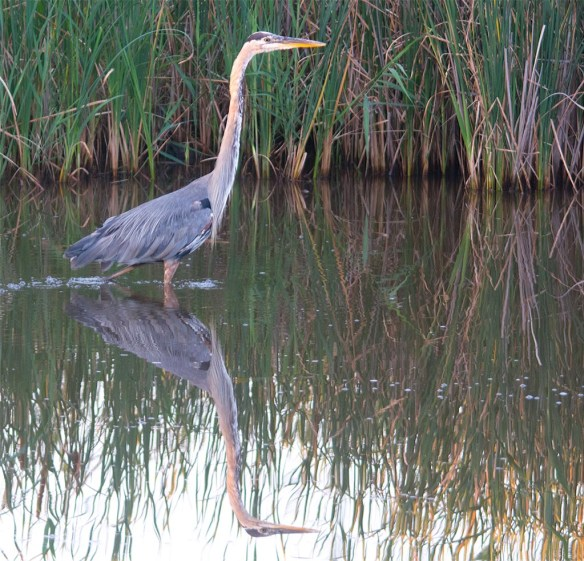 Great Blue Heron 2017-83
