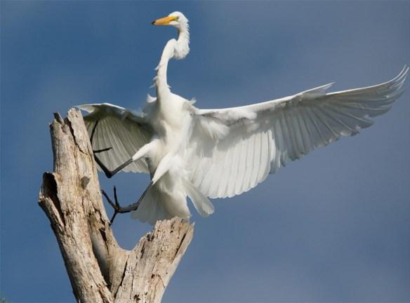 Great Egret 2017-117