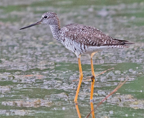 Greater Yellowlegs 2017-24