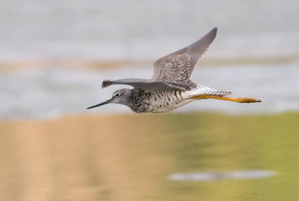 Greater Yellowlegs 2017-26