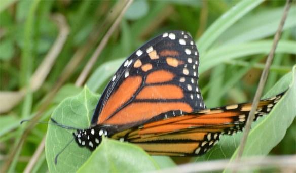 Monarch 50