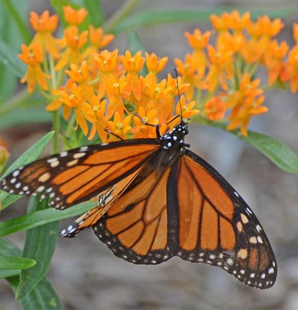 Monarch 54