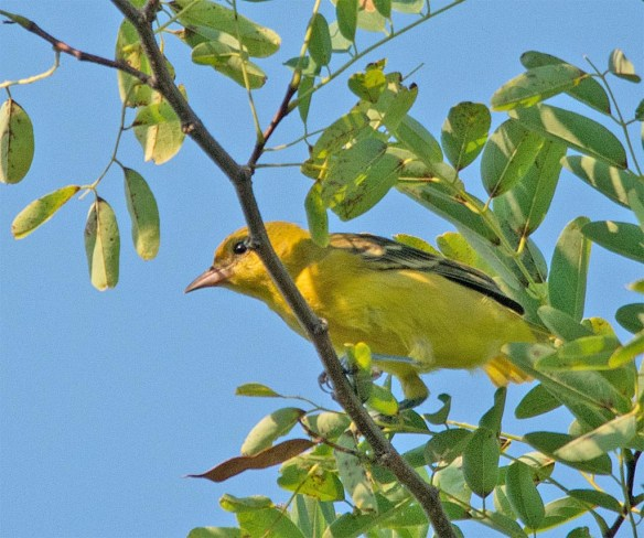 Orchard Oriole 2017-18