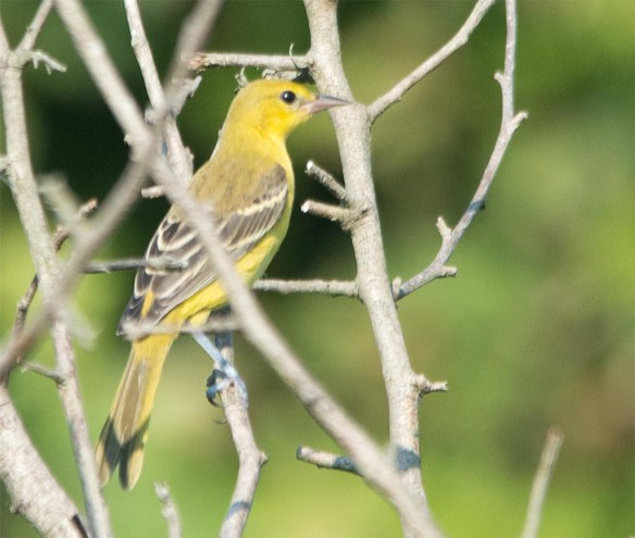 Orchard Oriole 2017-23