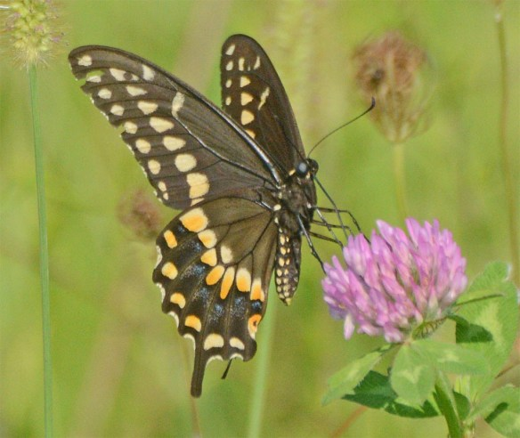 Palamedes Swallowtail 1