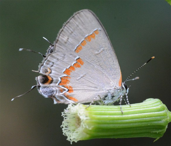 Red Banded Hairstreak 3