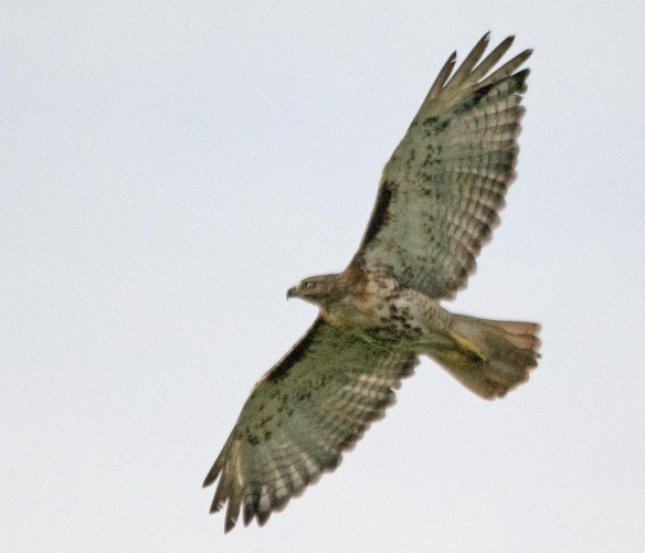 Red Tailed Hawk 2017-3