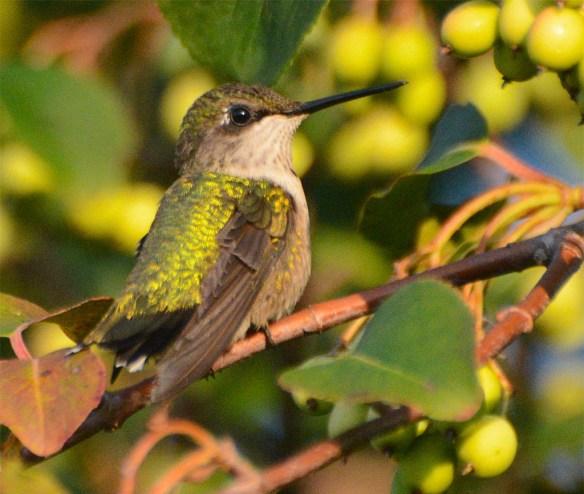 Ruby Throated Hummingbird 2017-17