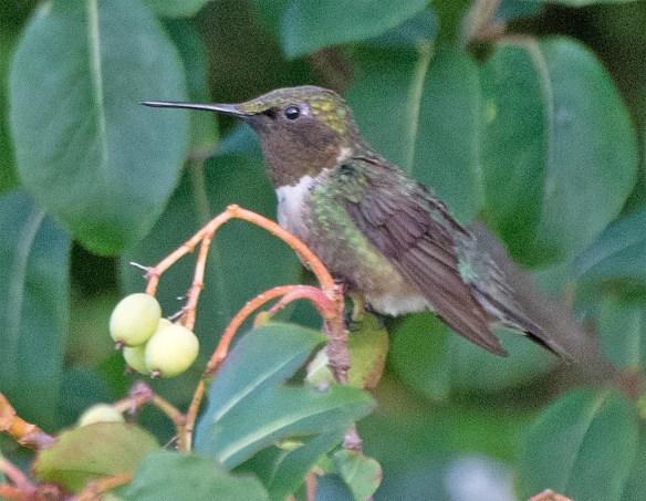 Ruby Throated Hummingbird 2017-8