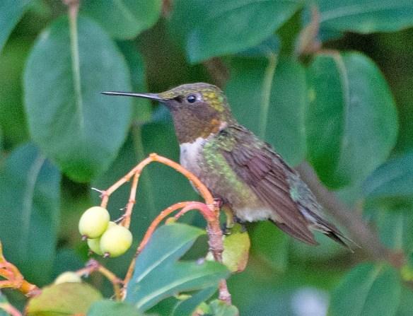 Ruby Throated Hummingbird 2017-9
