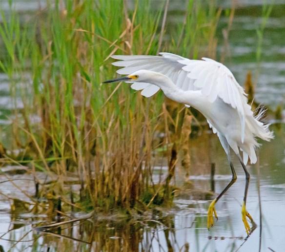 Snowy Egret 2017-67
