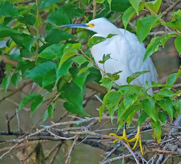 Snowy Egret 2017-68