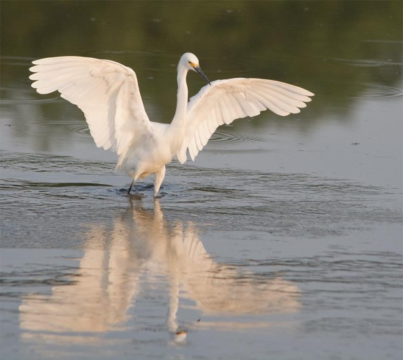 Snowy Egret 2017-71