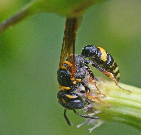 Wasp 26