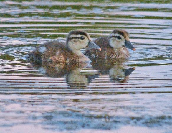 Wood Duck 2017-80