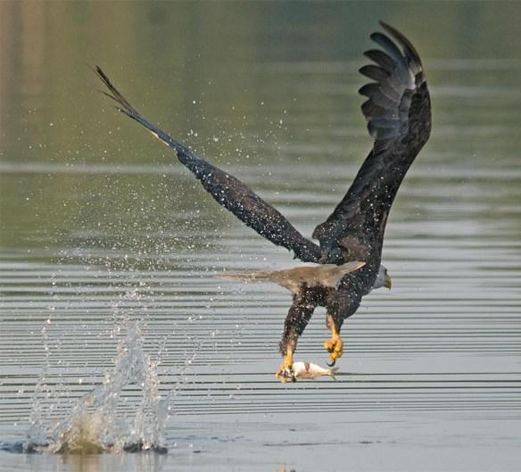 Bald Eagle 2017-156