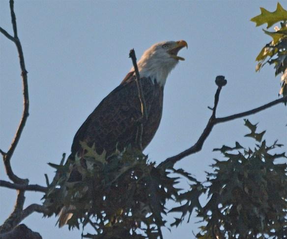 Bald Eagle 2017-160