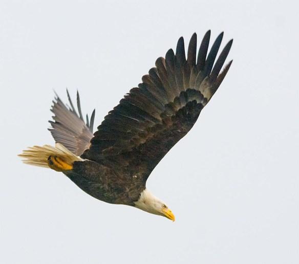 Bald Eagle 2017-164