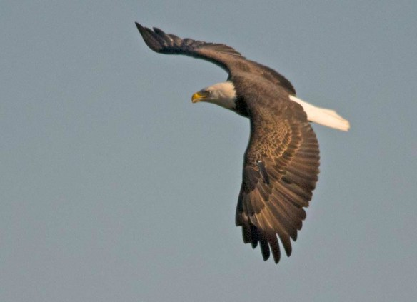 Bald Eagle 2017-171