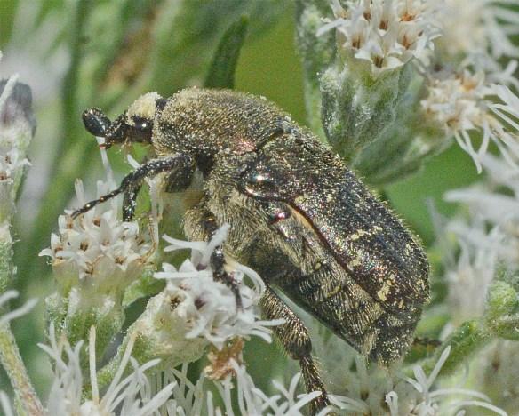Beetle 31