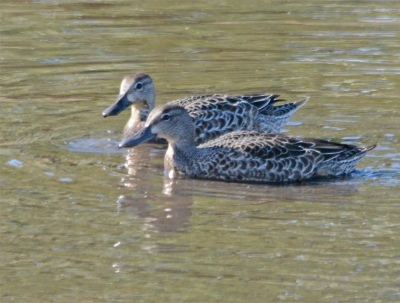Blue Winged Teal 2017-1