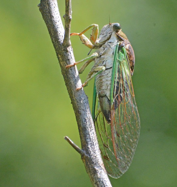 Cicada 2017-3