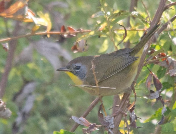 Common Yellowthroat 2017-11