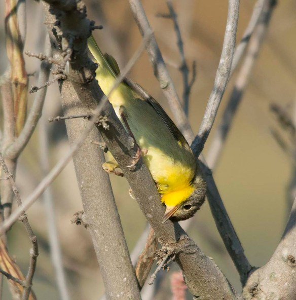 Common Yellowthroat 2017-12