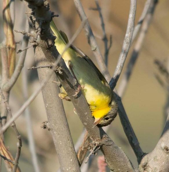 Common Yellowthroat 2017-12