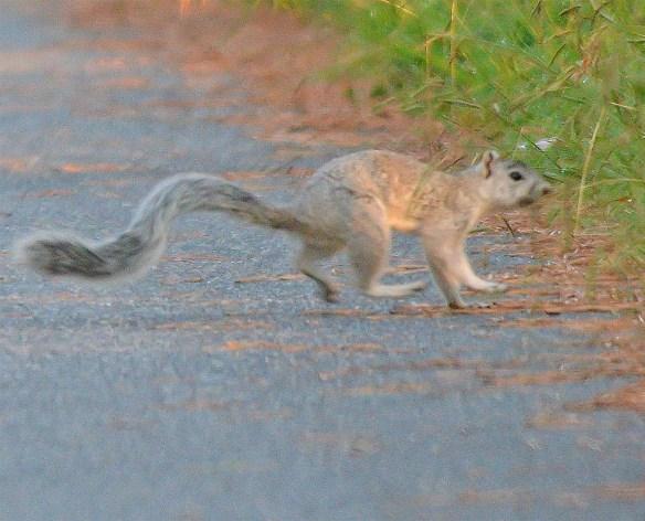 Delmarva Fox Squirrel 21