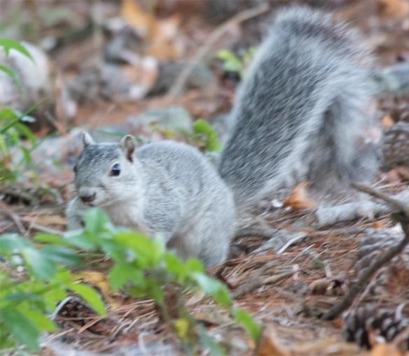 Delmarva Fox Squirrel 23