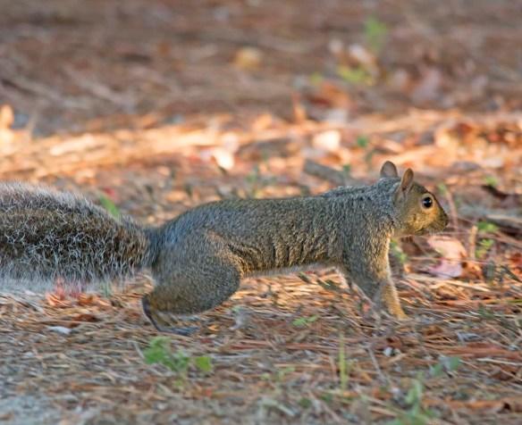 Delmarva Fox Squirrel 25