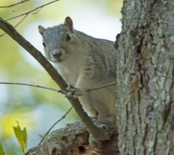 Delmarva Fox Squirrel 26