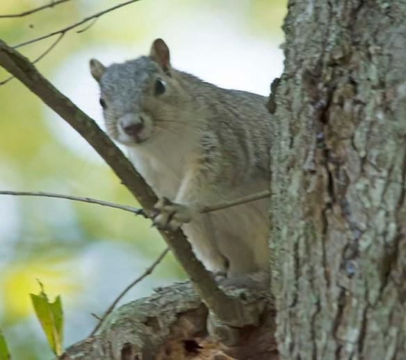 Delmarva Fox Squirrel 26