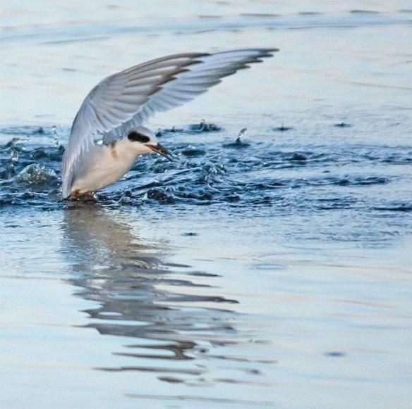 Forster's Tern 2017-114
