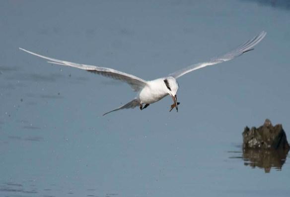 Forster's Tern 2017-129