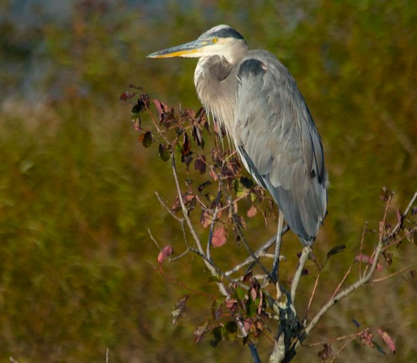 Great Blue Heron 2017-94