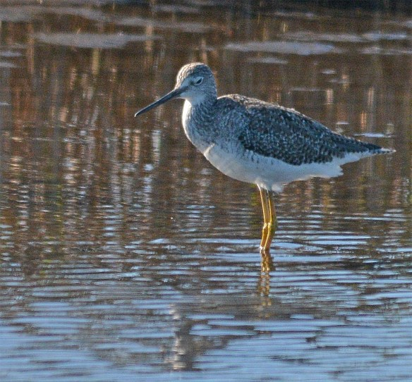 Greater Yellowlegs 2017-29