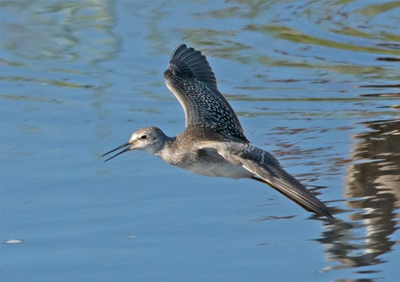 Greater Yellowlegs 2017-30