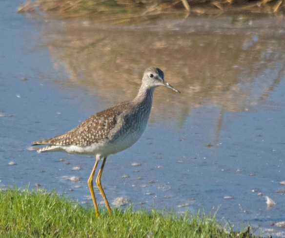 Greater Yellowlegs 2017-39