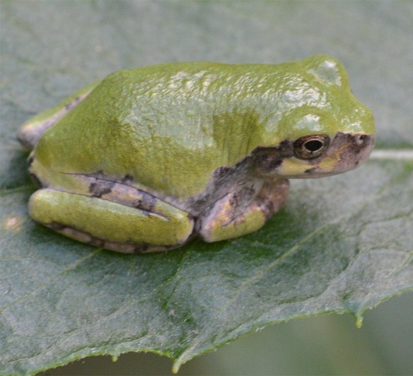 Green Tree Frog 10