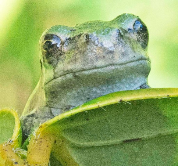Green Tree Frog 13