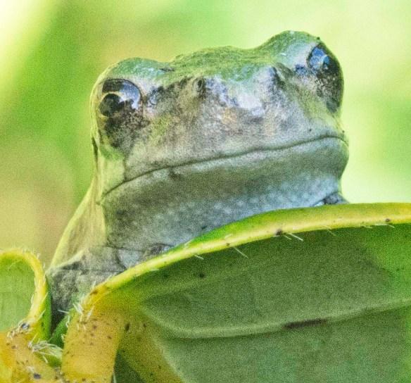 Green Tree Frog 13