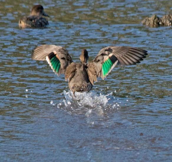 Green Winged Teal 2017-19