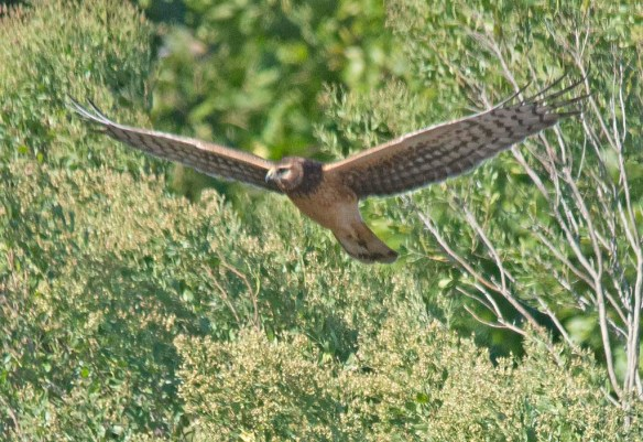 Northern Harrier 2017-13
