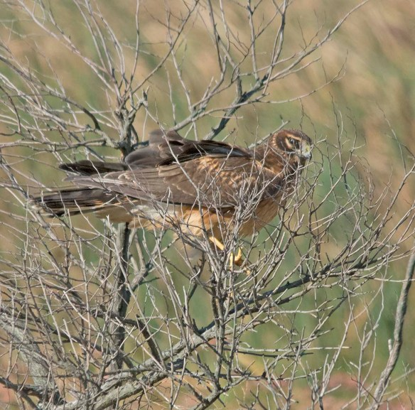 Northern Harrier 2017-15