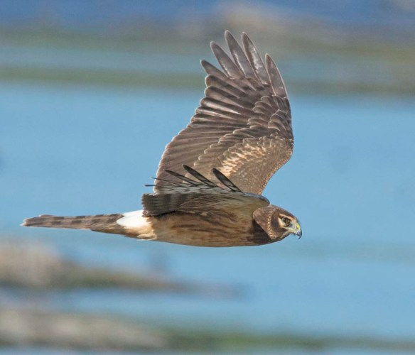 Northern Harrier 2017-17
