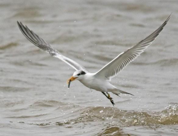 Royal Tern 2017-6